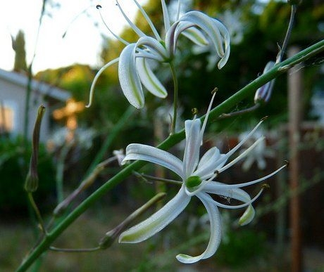 http://www.gardenershq.com/Chlorogalum-soap-plant.php