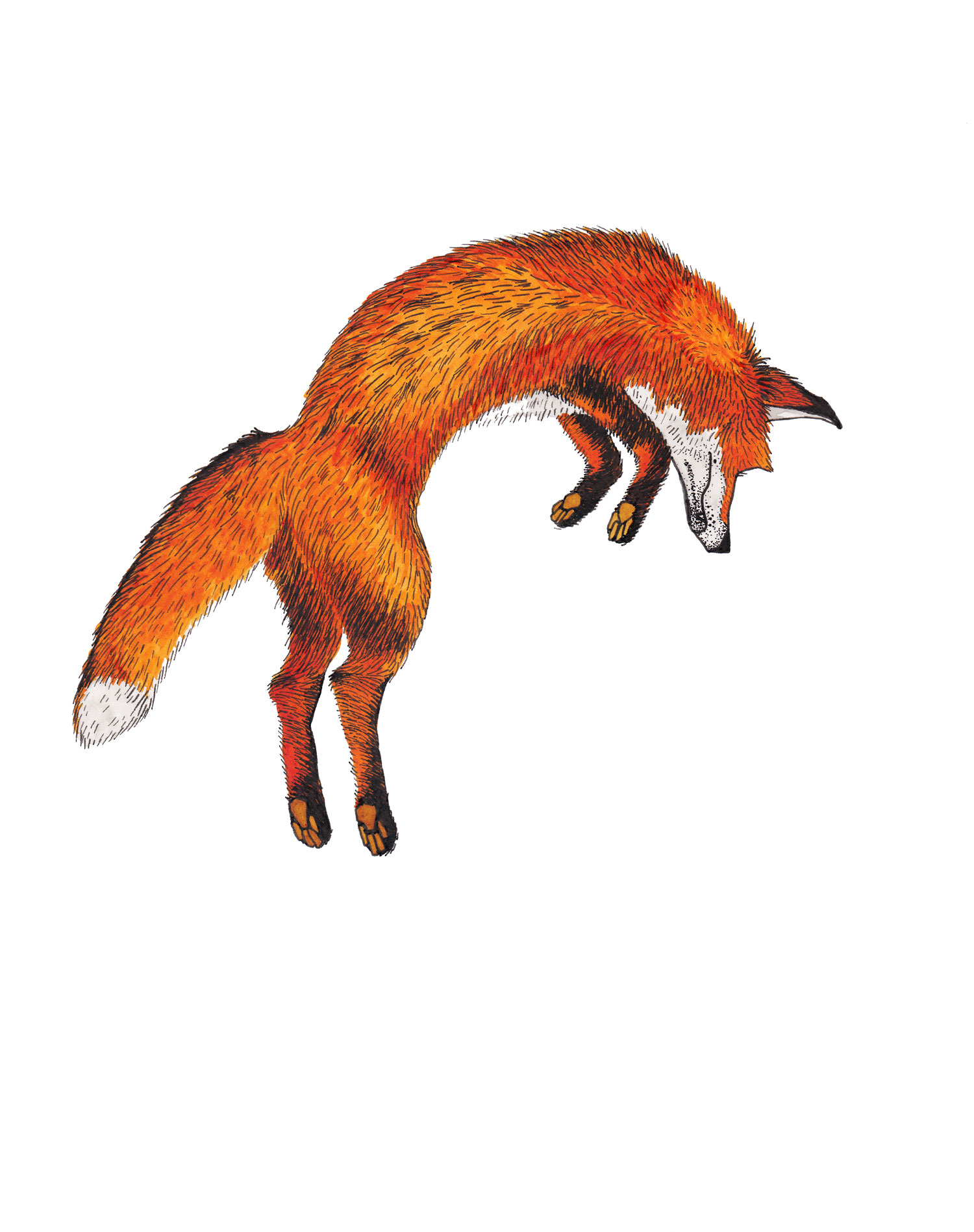 red-fox-leaping-illustration-matthew-woods.jpg