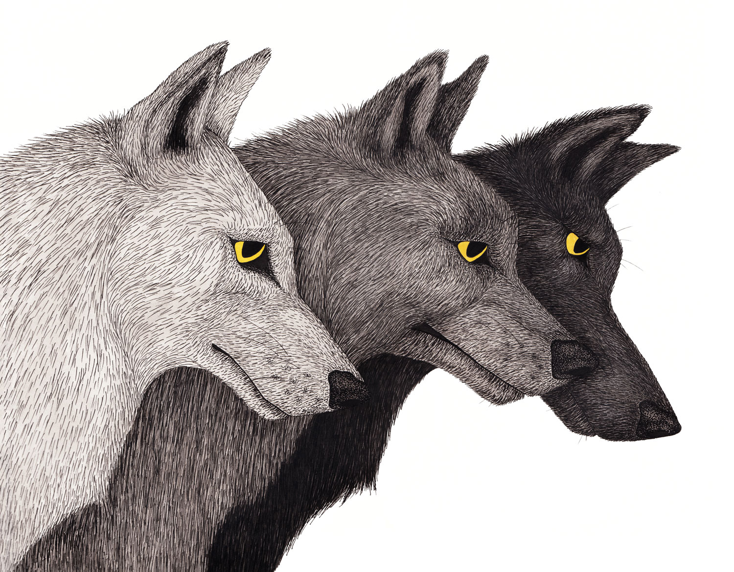wolf-pack-grey-wolves-yellow-eyes-illustration-matthew-woods.jpg