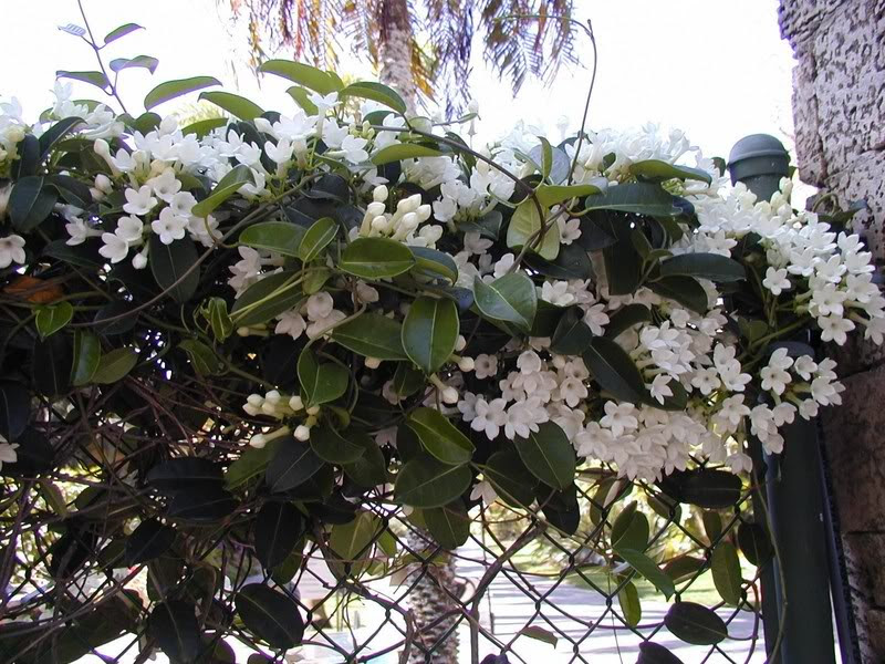Stephanotis Wall.jpg