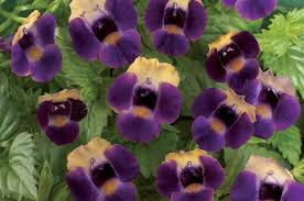 Torenia Flowers close up