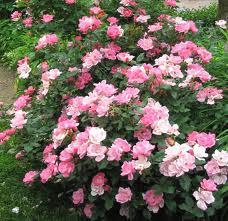 Roses Knockout roses.jpg