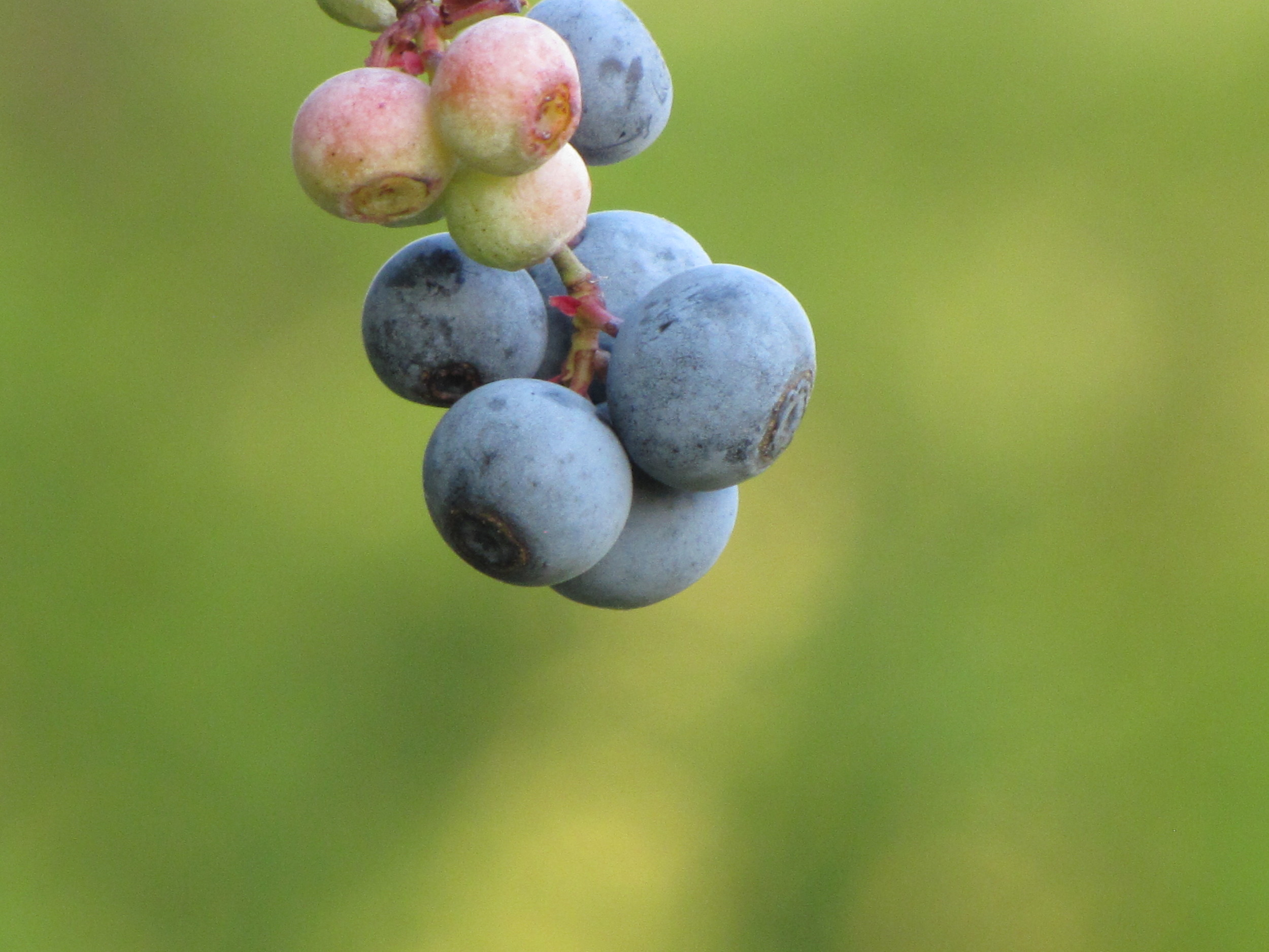 blueberryMorgue1.jpg