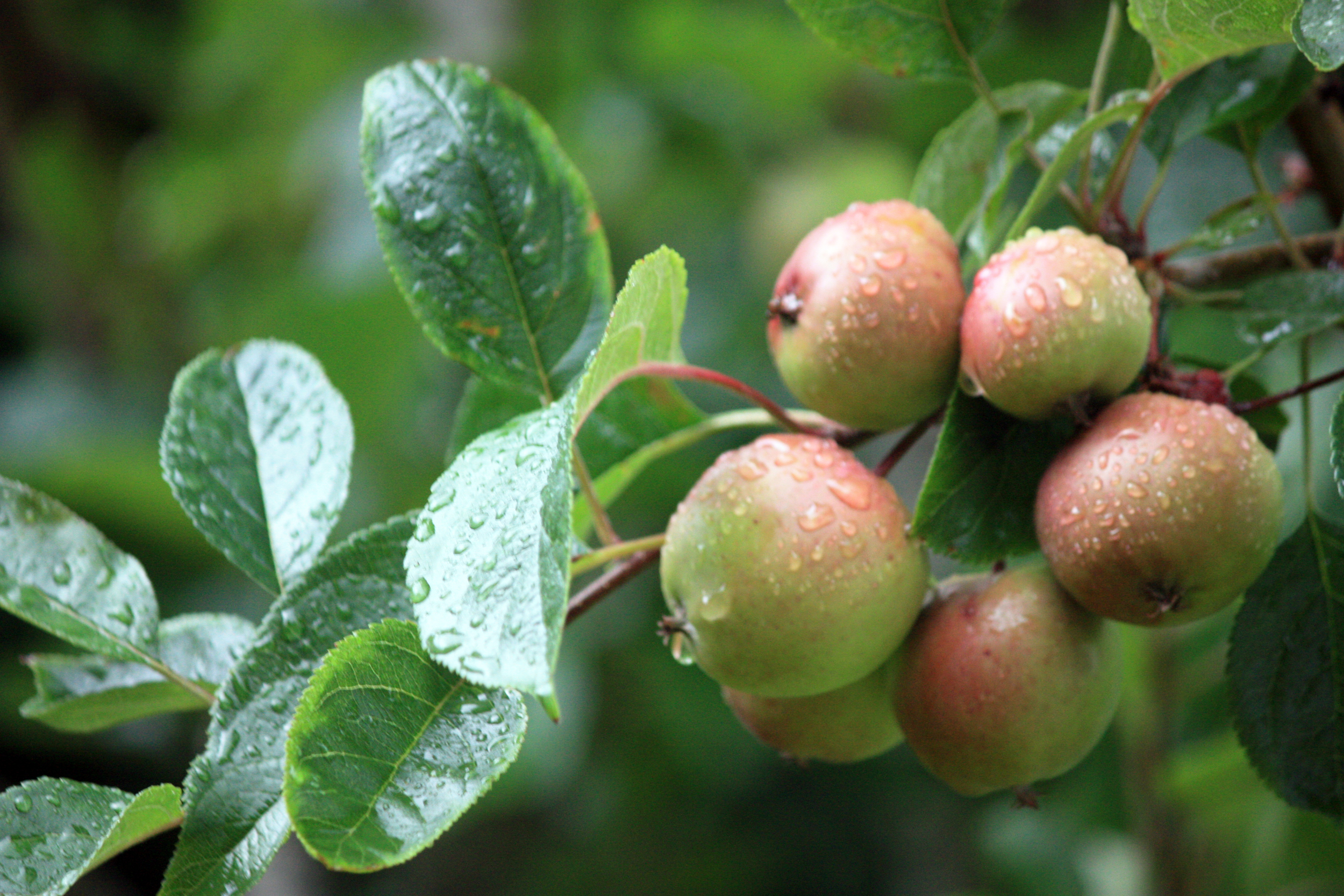 FruitApple.jpg