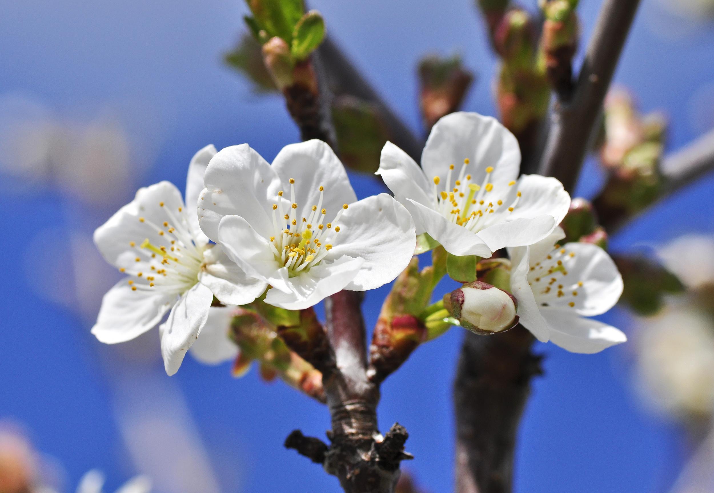 FruitAppleBlossom.jpg