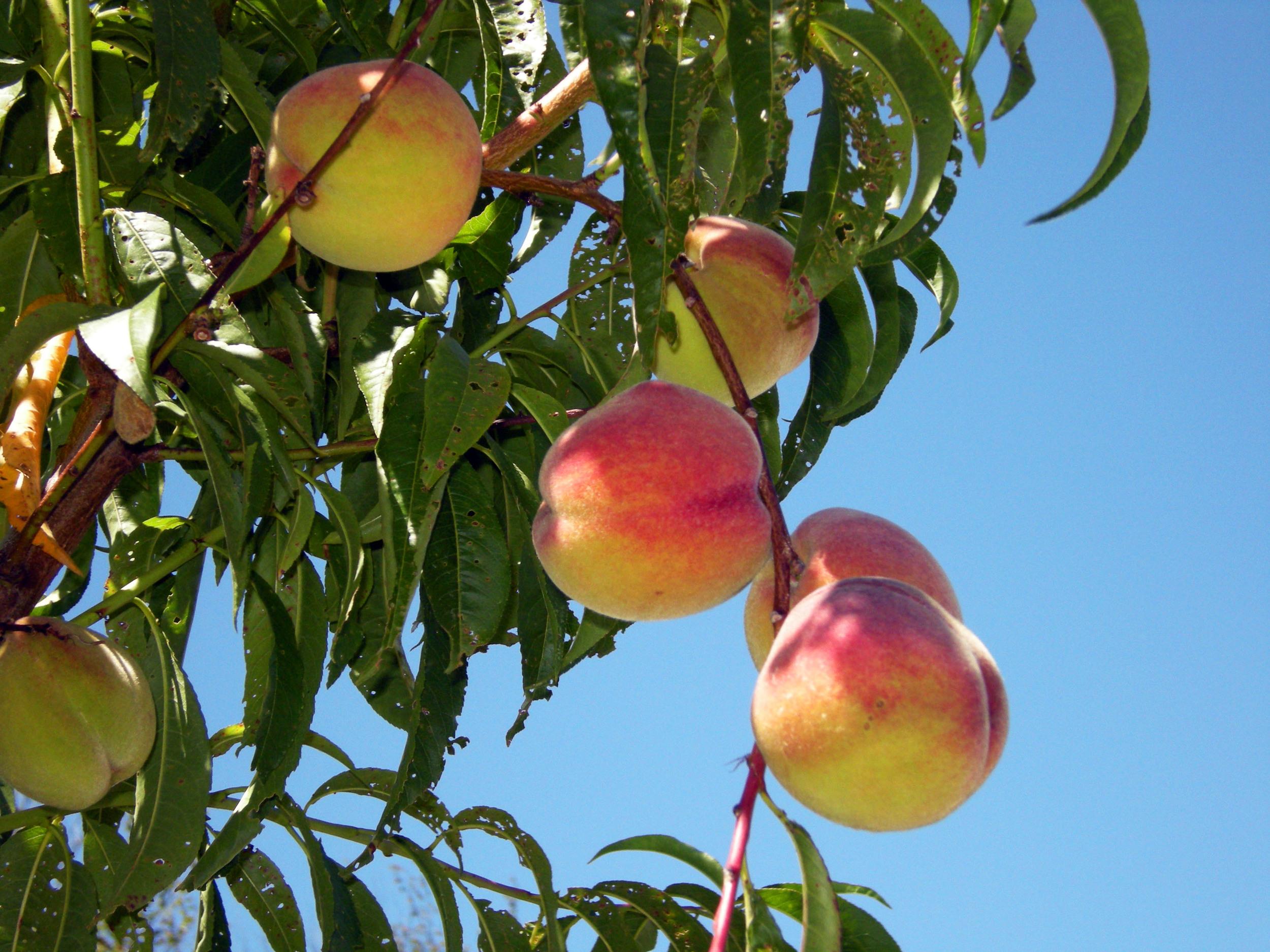 FruitPeachTree.jpg