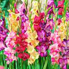 SpringBulbs Gladiolus.jpg