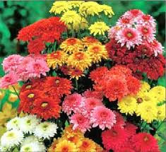 November - Chrysanthemums