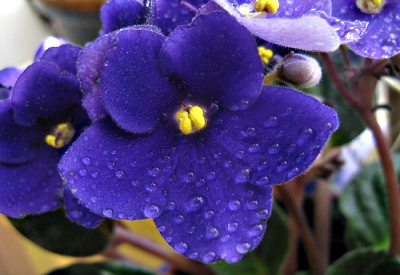 February - African Violet
