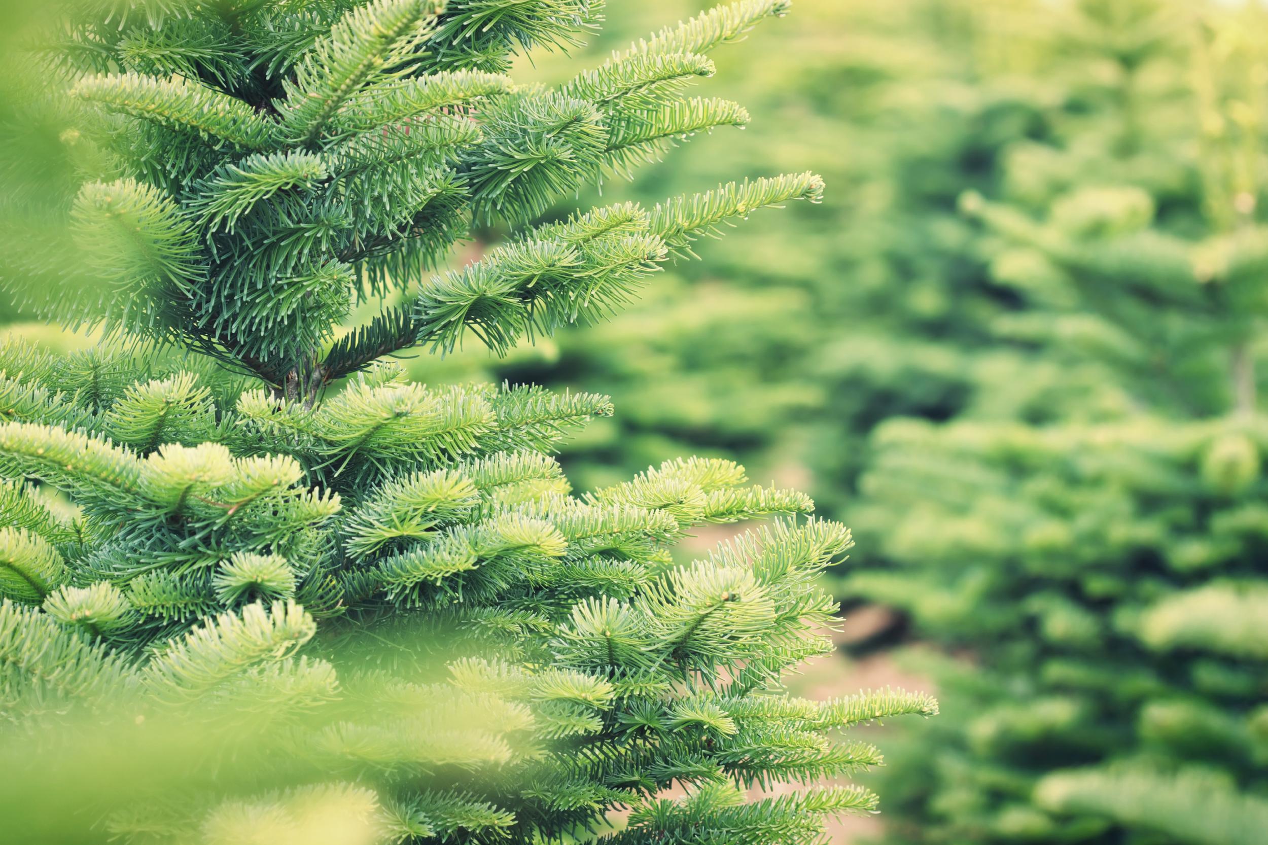 Holiday Christmas Tree 17423590_Large.jpg