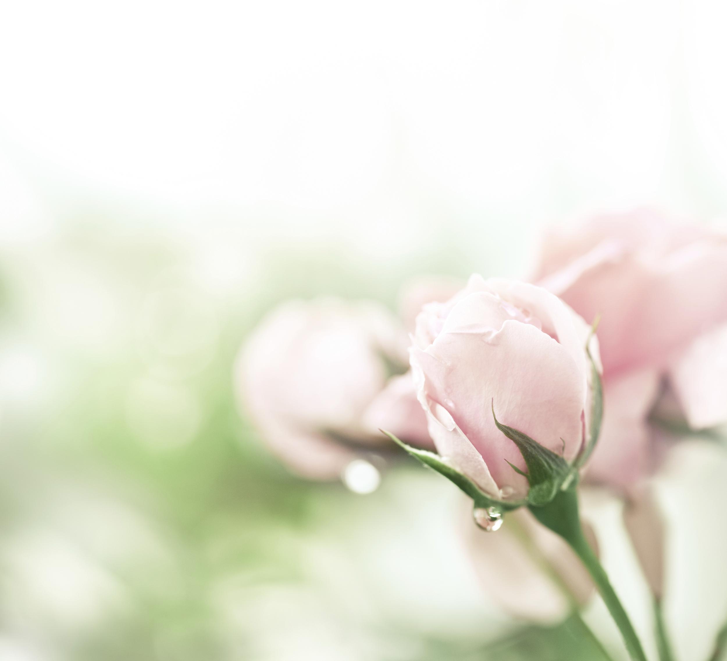 Flower Rose June 19099486_Full.jpg