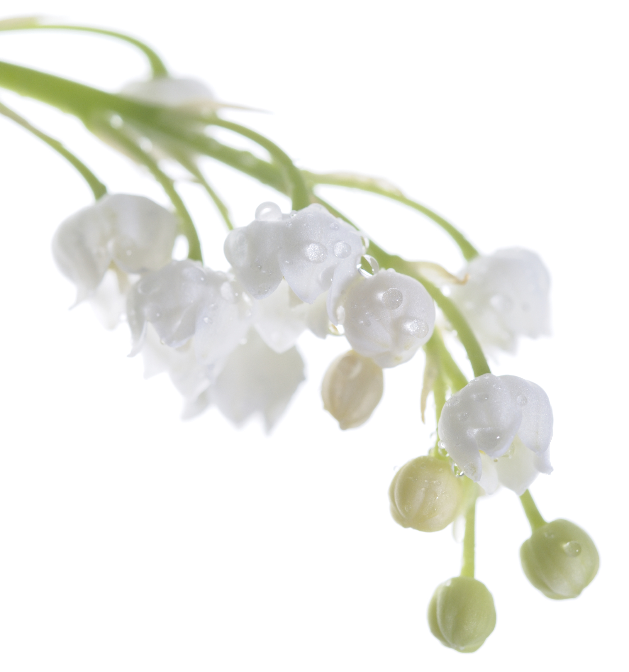 Flower Lily of the Valley May 15778528_Large.jpg