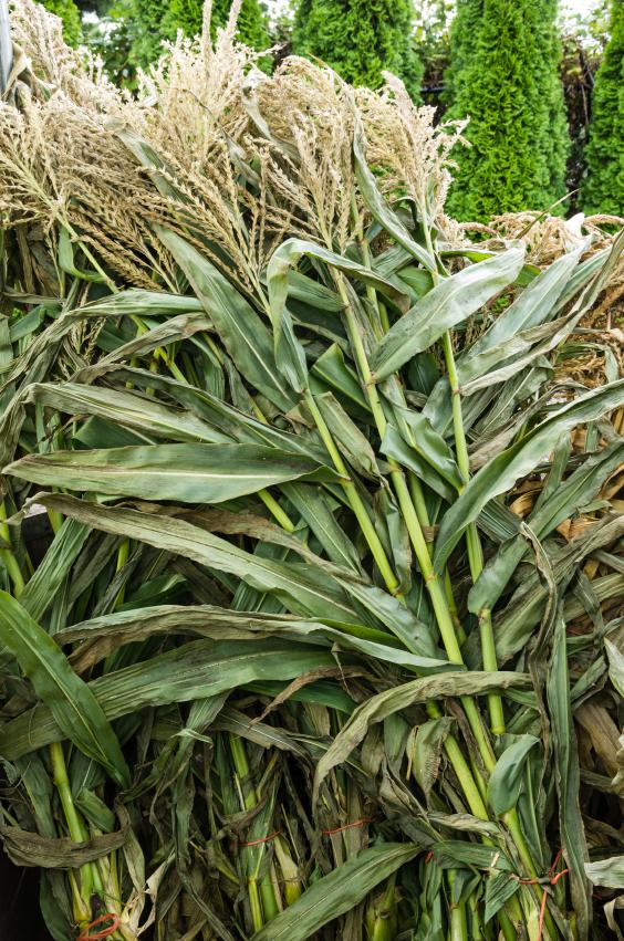 Fall Corn Stalks 59131404_Small.jpg