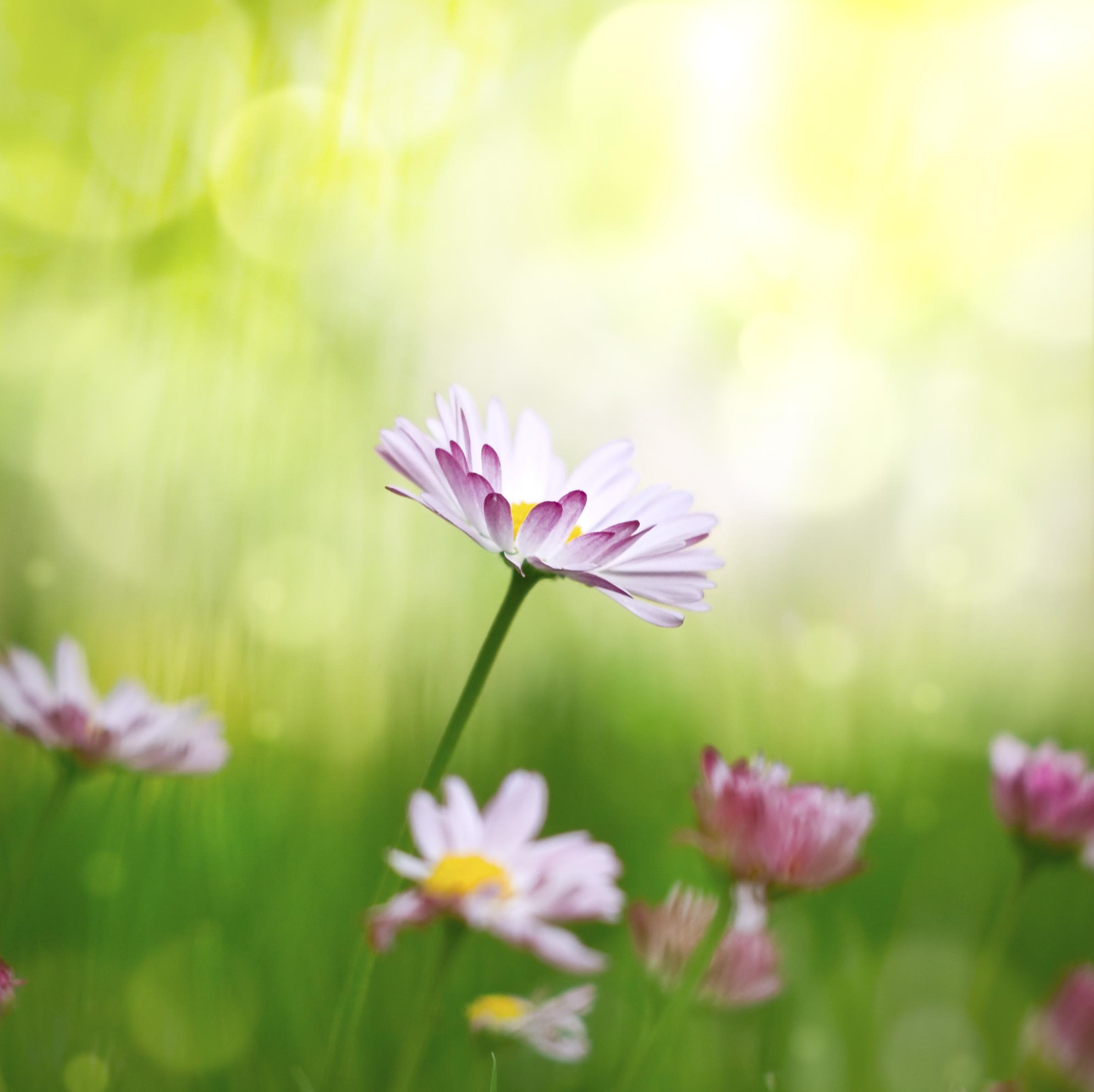 Flower daisy 59849518_Large.jpg