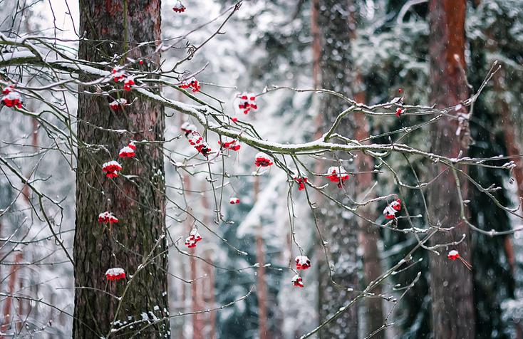 Rowan-Branch-In-Winter-Forest-613887472_737x478.jpeg