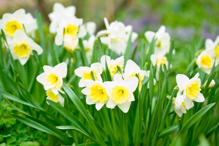 daffodils--garden-91614593_727x485.jpeg
