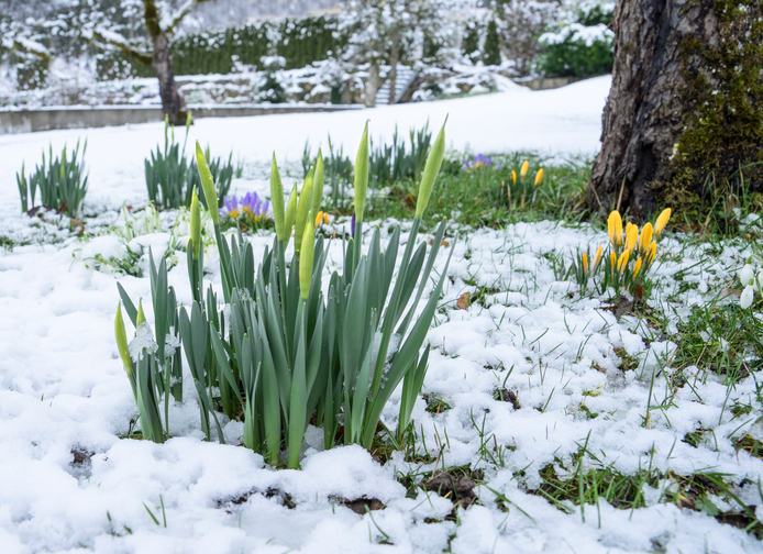 Buds-of-daffodils-in-the-snow-513551850_696x506.jpeg