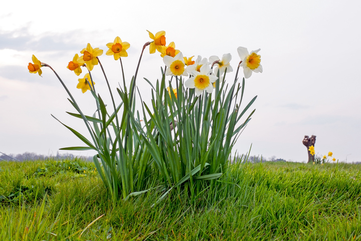 Daffodils-flowers-in-a-dutch-landscape-in-the-Netherlands-540502892_727x485.jpeg