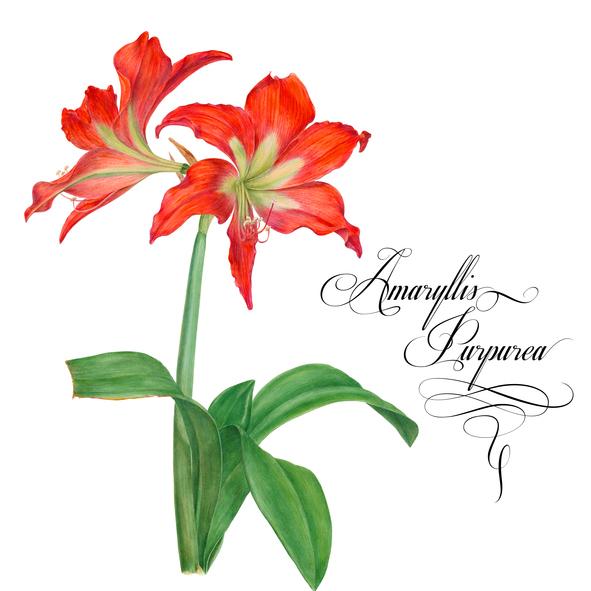 Amaryllis-purpurea.-638338452_594x594.jpeg