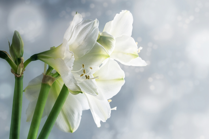 White-amaryllis-flowers-(Hippeastrum)-against-a-snowy-background-637282760_727x485.jpeg