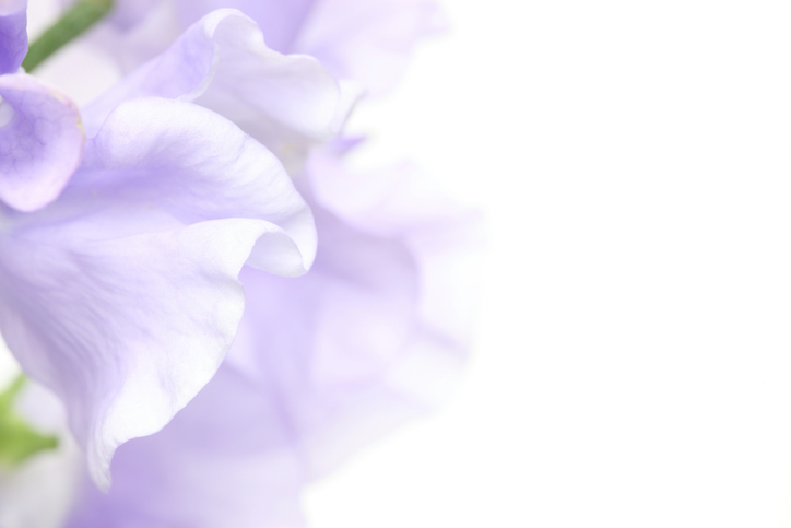 Closeup-picture-of-sweetpea-853517820_727x484.jpeg