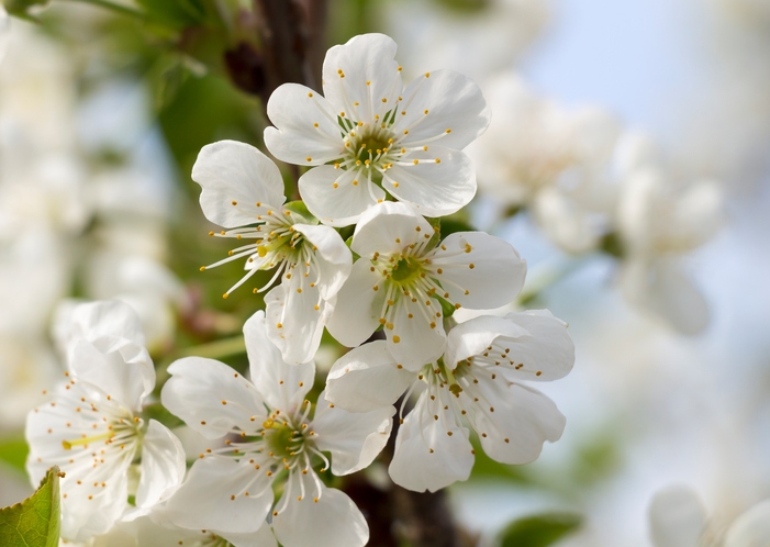blooming-apple-tree-532957126_704x501.jpeg