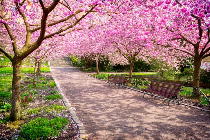 Cherry-tree-park-in-full-bloom-525738182_726x484.jpeg