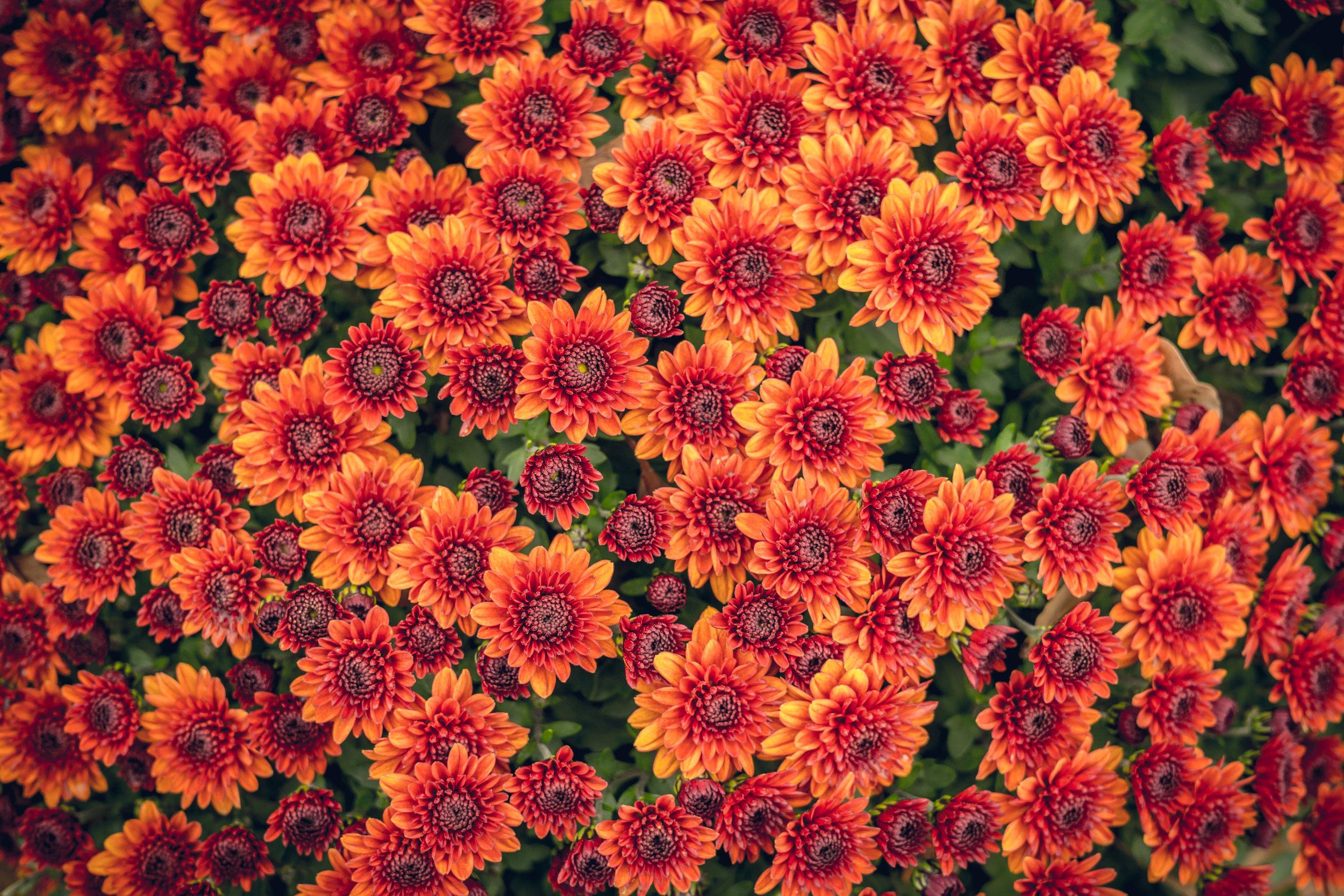 Scenic-autumn-chrysanthemums-615076240_5140x3428.jpeg