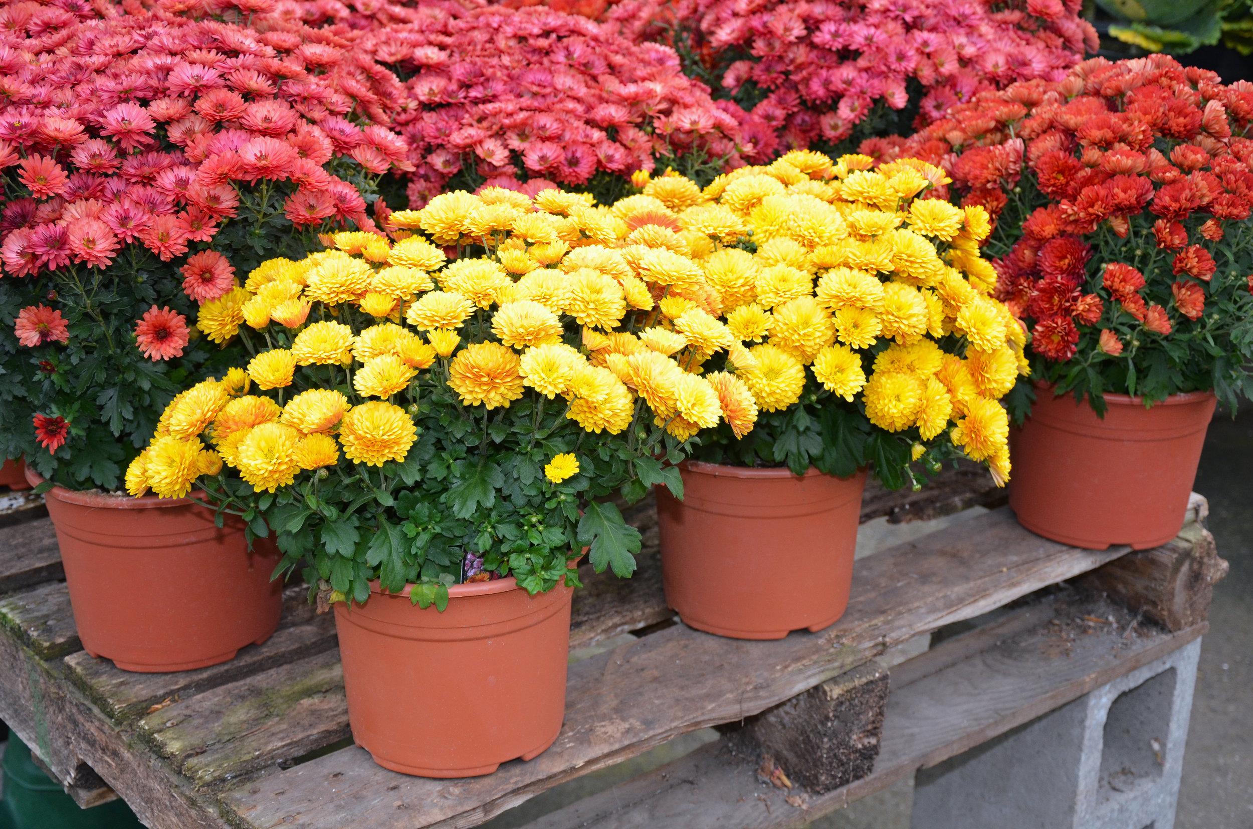 Autumn-chrysanthemum-flowers-481880019_4928x3264.jpeg