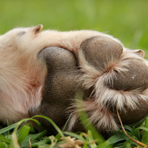 paw pad cleaning