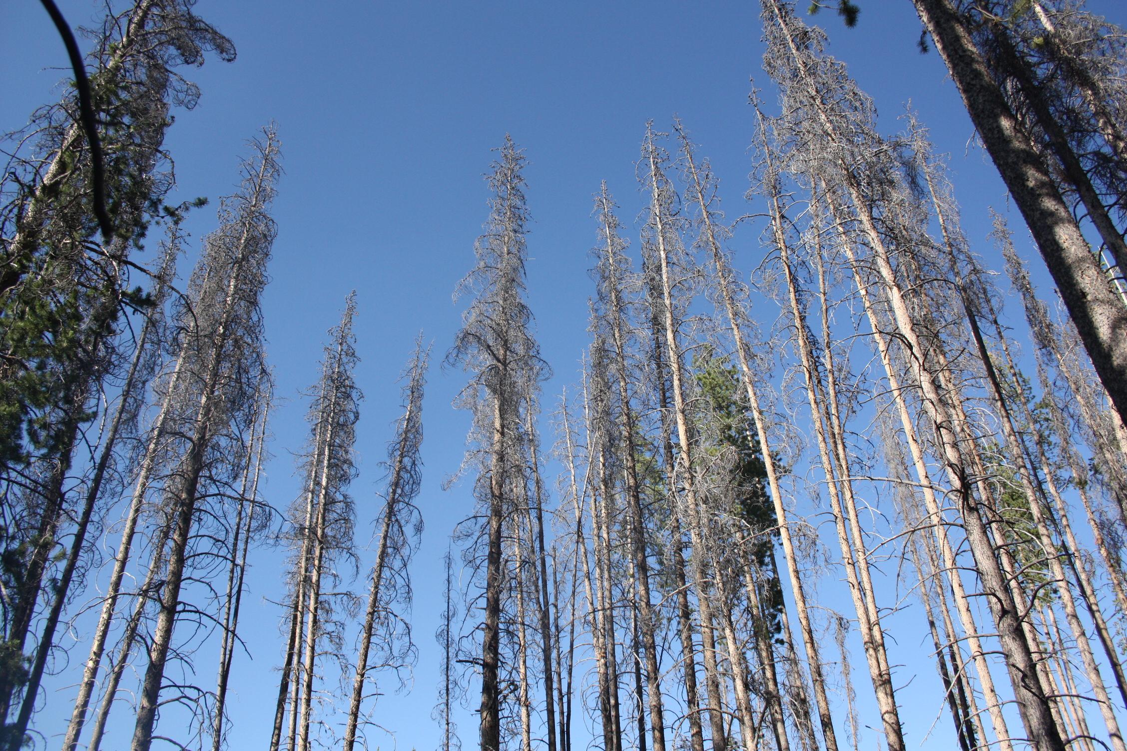 Dead spruce near Steamboat Springs, Colorado