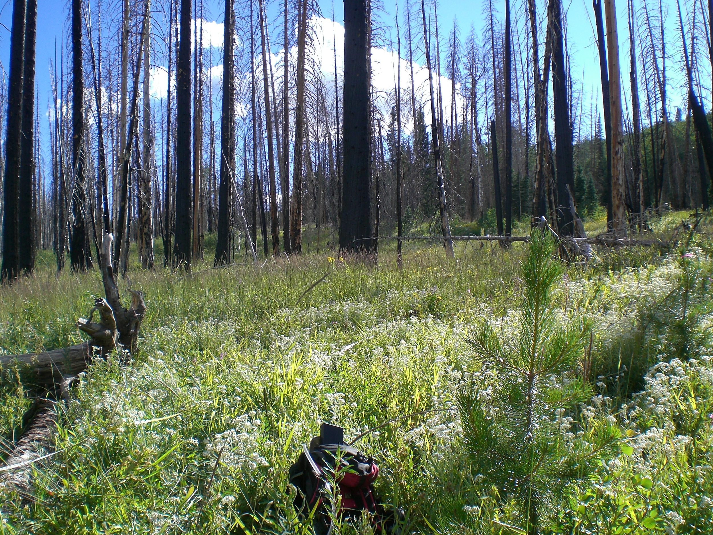 Burned area with regenerating lodgepole pine in the front.