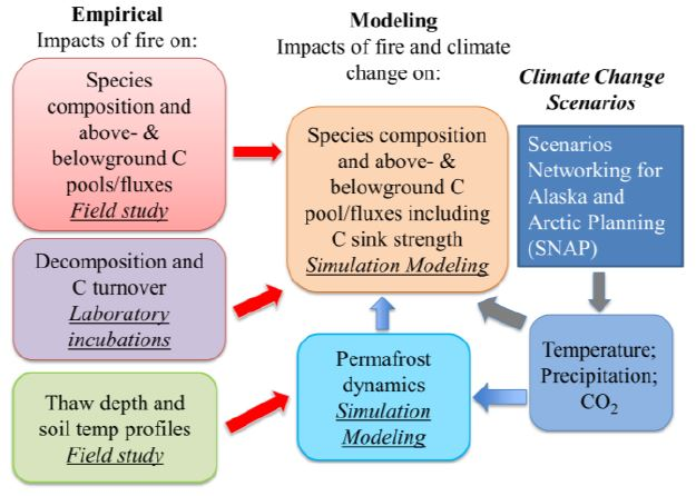 Integration of empirical data into simulation modeling (red arrows), with new model linkages for permafrost thawing (blue arrows).  This approach will be used to determine how single and multiple burns affect the spatial and temporal pattern of C stocks and fluxes, and the successional dynamics and how subsequent changes in climate change, including permafrost thaw, may alter those trends (grey arrows).