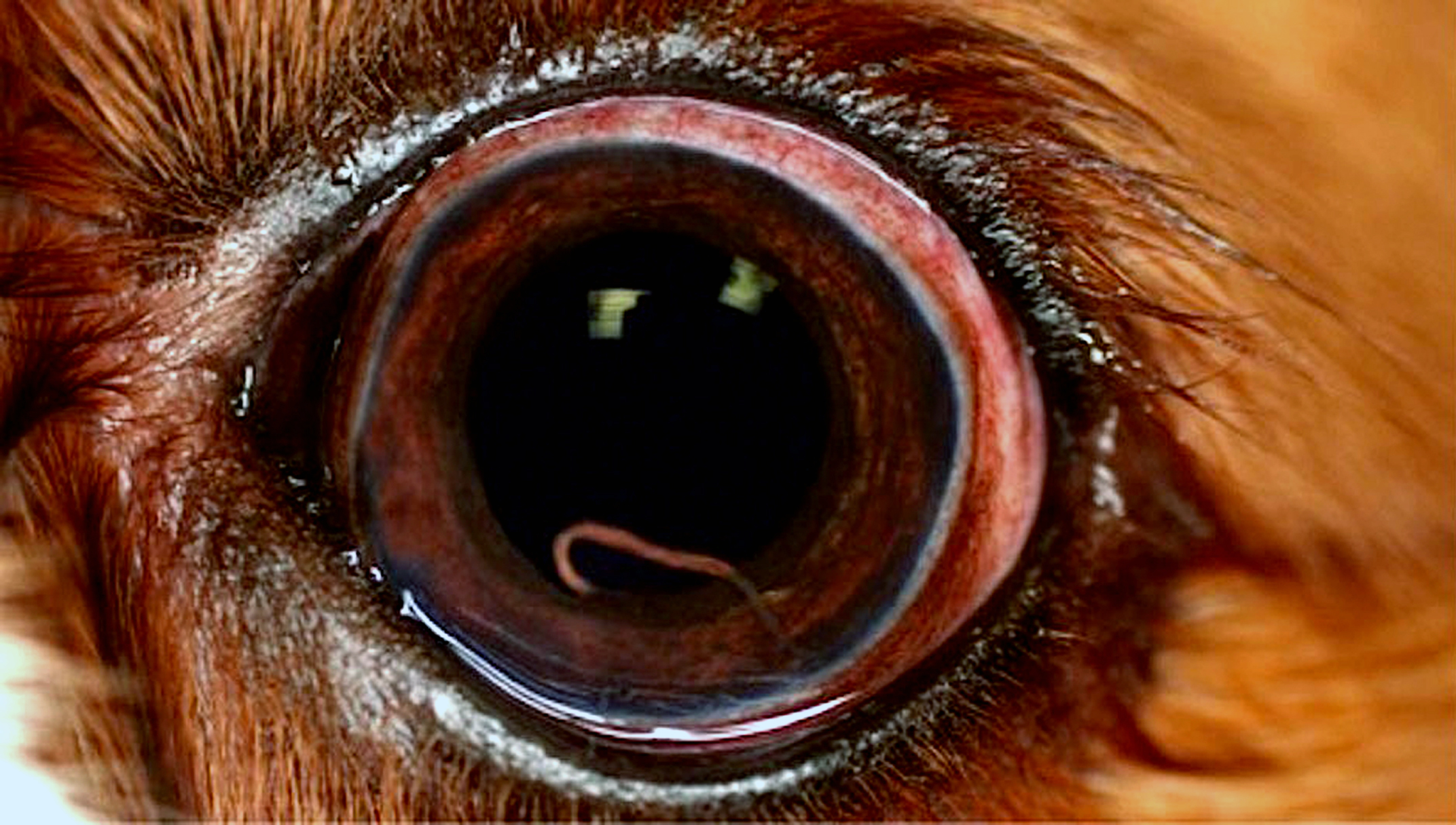 Angiostrongylus vasorum in the eye of a dog. Photo credit: Vito Collela, University of Bari, Italy.