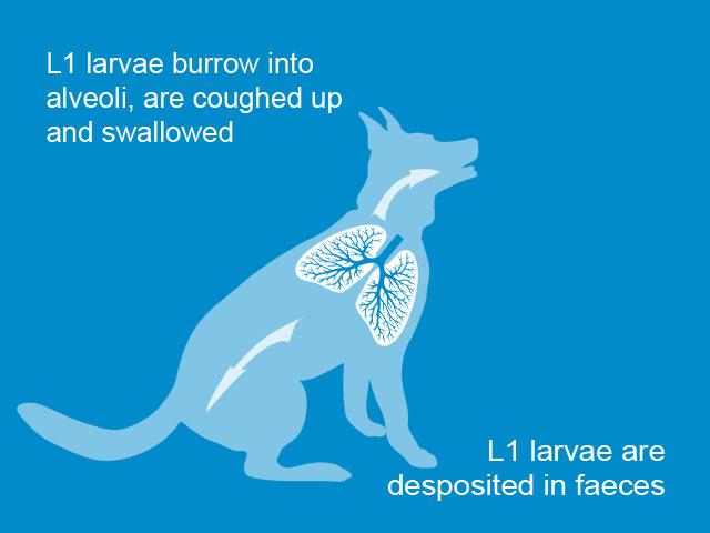 Lungworm-slide-03.jpg
