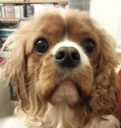 The scenario - An 8-month old Cavalier King Charles Spaniel dog presented with a recent history of coughing. On clinical examination, body temperature, and heart and lung sounds were normal. Palpation of the trachea provoked wheezing and a persistent dry cough. After a diagnosis of tracheitis, the dog was treated with prednisolone 0.5mg/kg daily for 5 days and the respiratory signs disappeared. One month later, the dog was seen at the clinic again because of a relapse and worsening of respiratory signs and episodes of weakness in the hind limbs. Auscultation of the lungs revealed crackles and thoracic radiographs showed a bronchial pattern and an increase in the radiopacity of pulmonary vessels. There was no evidence of arrhythmia, heart failure or other abnormalities on echocardiographic examination. The dog was prescribed another course of prednisolone together with antibiotic therapy (enrofloxacin 5mg/kg) but after 3 days it presented with tachypnoea, abdominal breathing and a heavy dyspnoeic crisis. Further radiographic examination showed a serious increase in radiopacity in the peribronchial regions, an alveolar pattern compatible with severe pulmonary oedema or haemorrhage, and bulging of the main pulmonary artery in ventro-dorsal view. Infection with Angiostrongylus vasorum was suspected. A Baermann's test was positive for L1 larvae and an AngioDetect test was positive for A. vasorum antigens. The dog was immediately treated with moxidectin + imidacloprid but died a few hours later of a severe pulmonary haemorrhage.