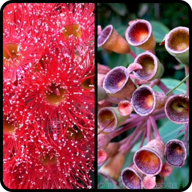 |Corymbia flower + young gum nut|
