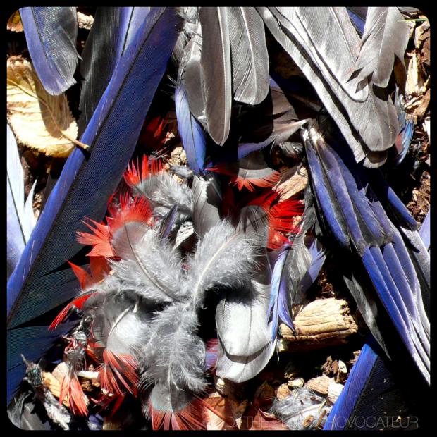 |Australia's Crimson Rosella Feathers|