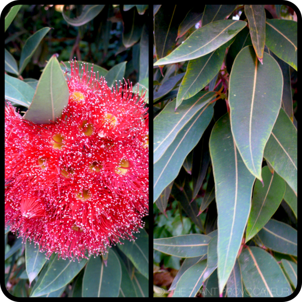 |Corymbia flower cluster + foliage|