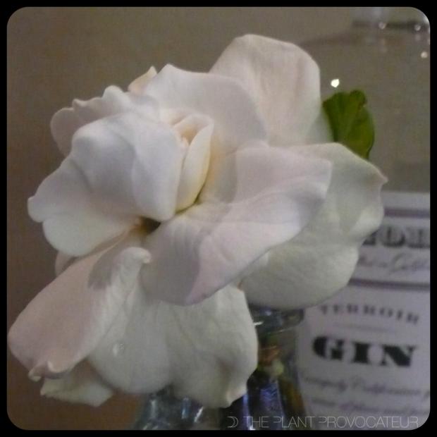 |Gardenia blossom|