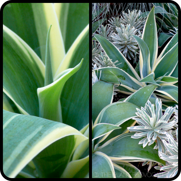  Agave attenuata 'Ray Of Light' + Euphorbia 'Silver Swan' 