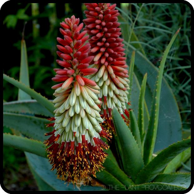 |Aloe speciosa torches + rosette|