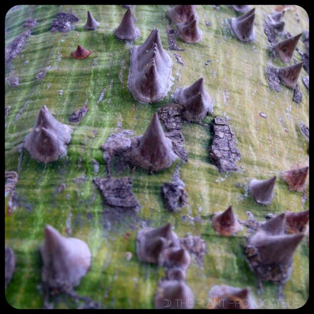 |Ceiba speciosa thorns|