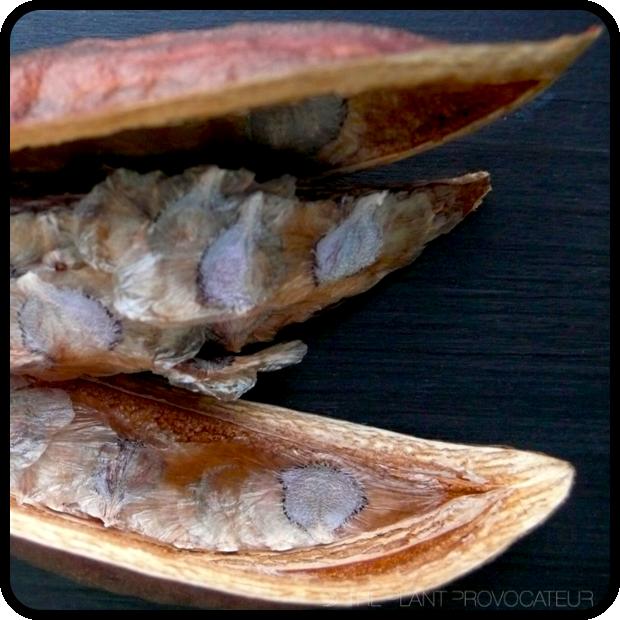  Pandorea Pod + Seeds 