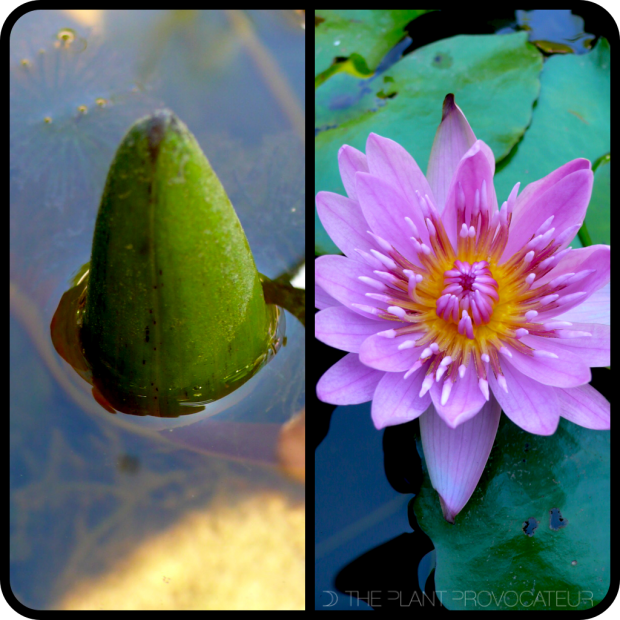  Water Lily Bud + Flower 