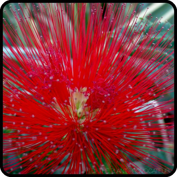 |Calliandra tweedii flower head|