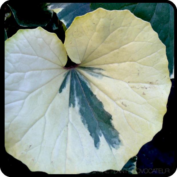 |Farfugium japonicum 'Argenteum' foliage detail|