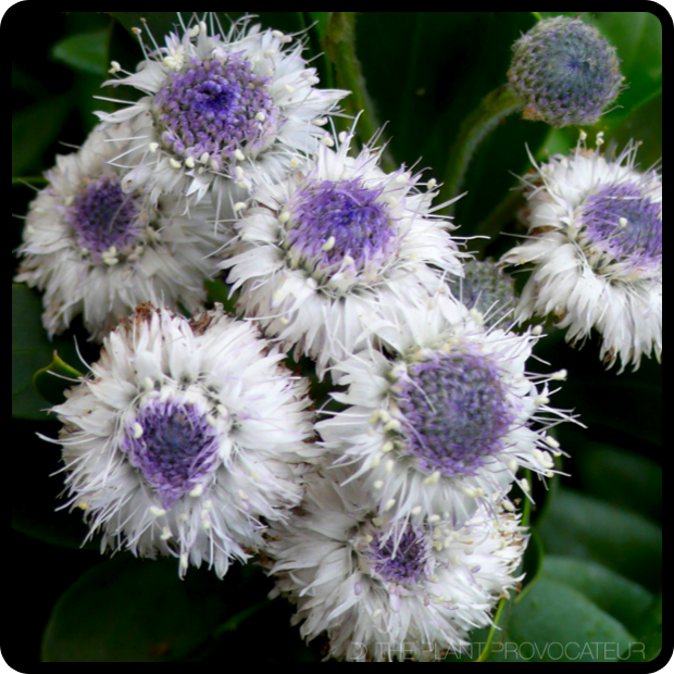  Globularia x indubia blossoms 