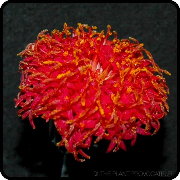 |Senecio fulgens bloom detail|