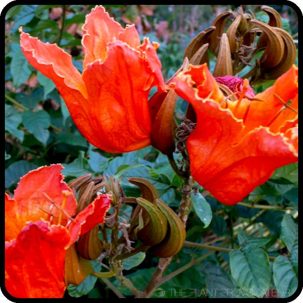 |Spathodea campanulata floral profile|